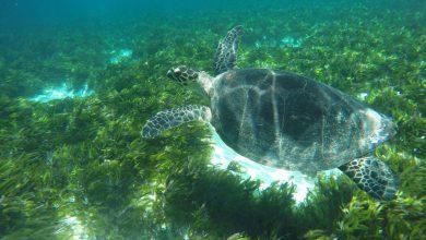 Photo of В ЮНЕСКО призывают защитить популяцию зеленых черепах на Сейшельских островах