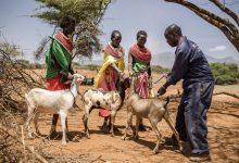 Photo of UN reports major progress towards eradicating sheep and goat plague