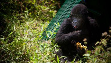 Photo of Коронавирус добрался и до горилл