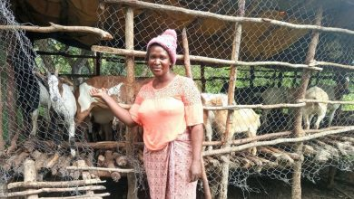 Photo of FROM THE FIELD: The goats helping Zambians to reach economic independence